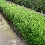 BUXUS ( BOSSO )